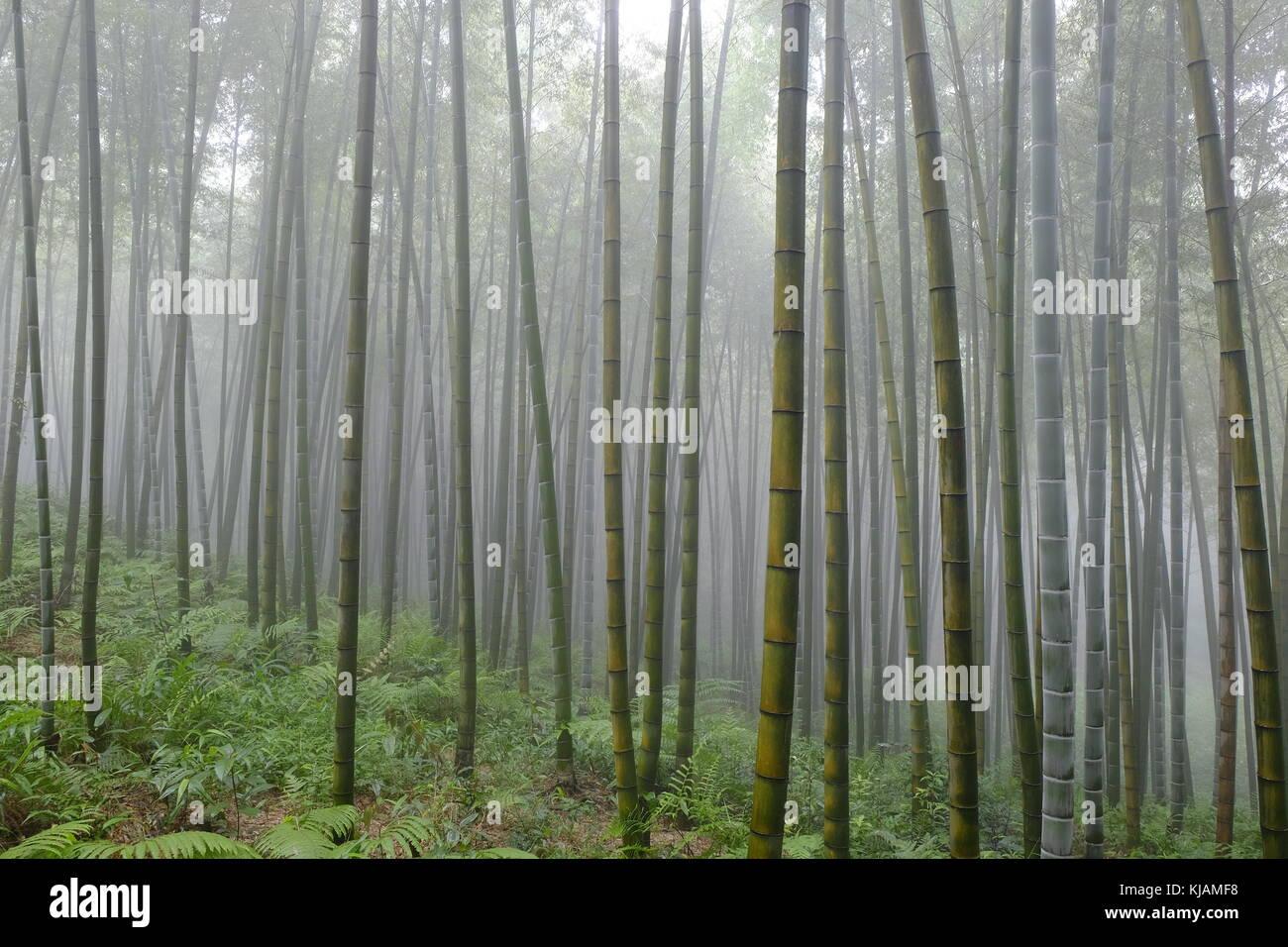 Bosco Di Bamb.Paesaggio Di Nebbia Foto Al Shunan Bosco Di Bambu In Cina