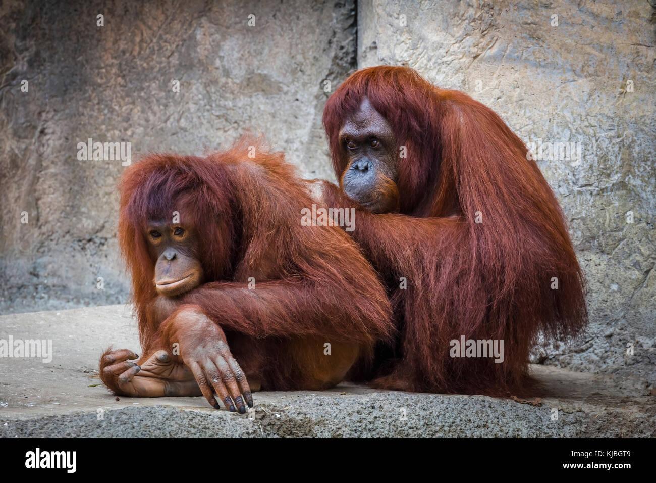 Bornean orango presso il Lowry Park Zoo in Tampa Florida USA / Stati Uniti Foto Stock