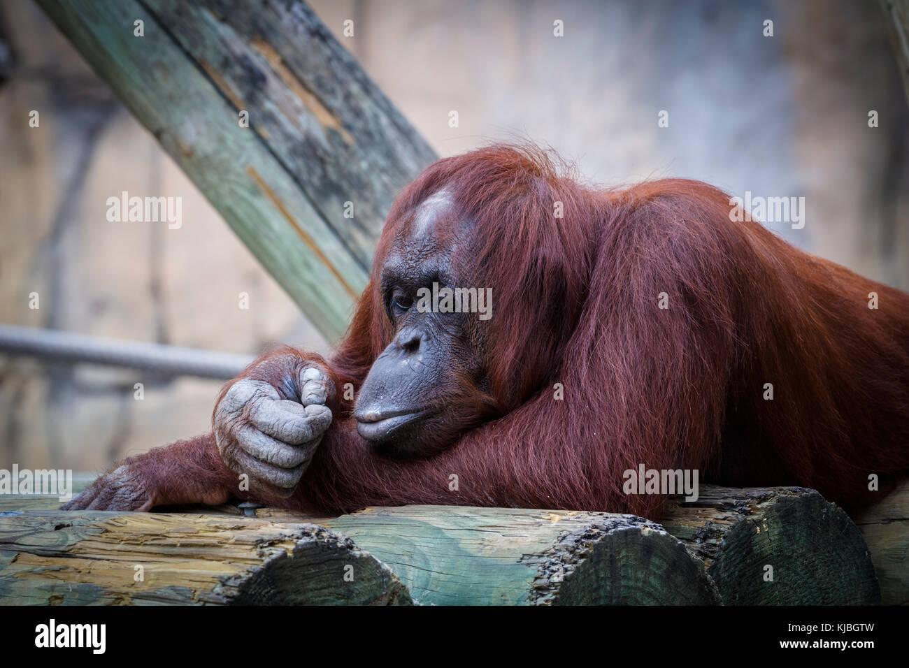 Bornean orango presso il Lowry Park Zoo in Tampa Florida USA / Stati Uniti Immagini Stock