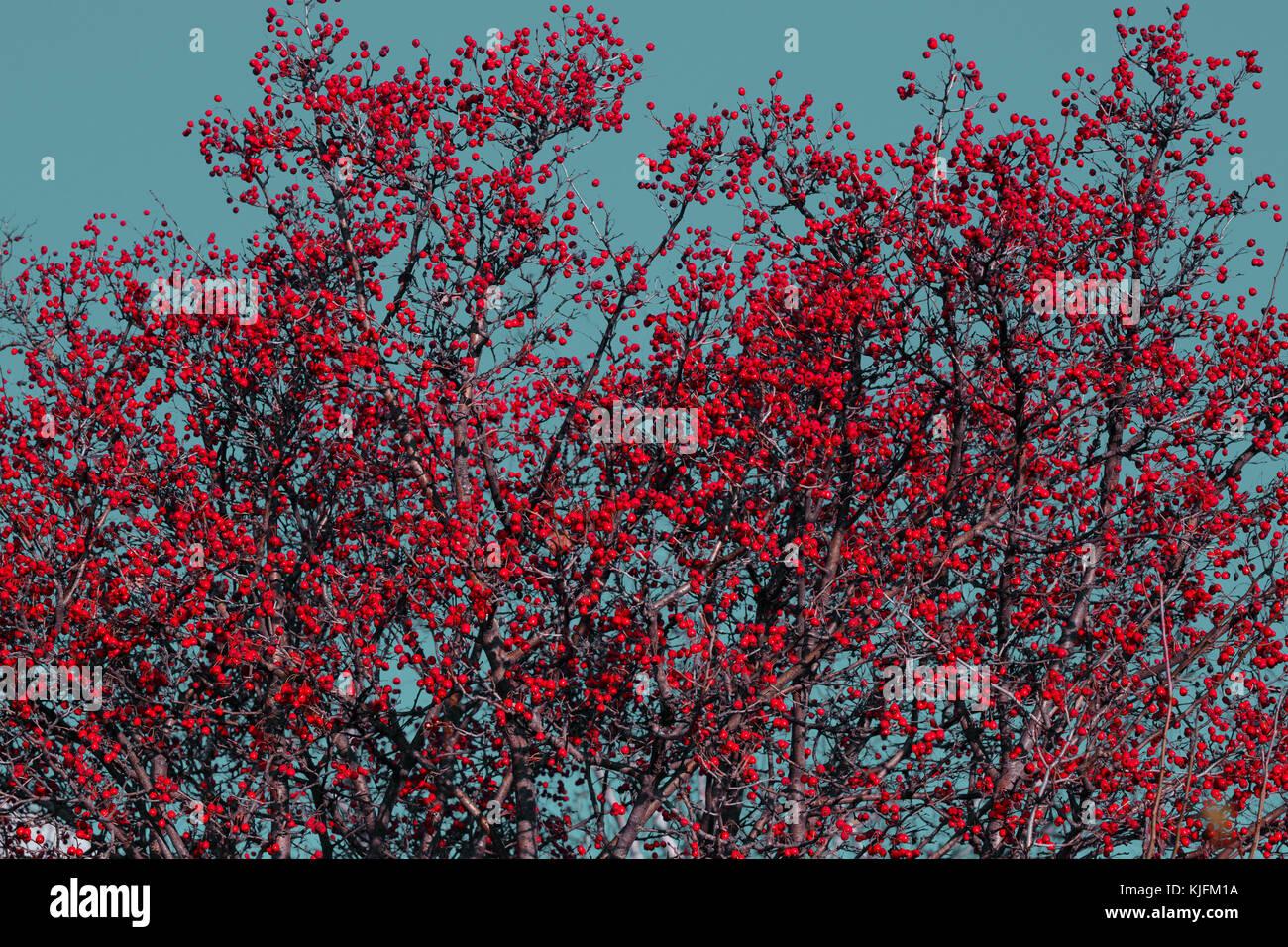 Albero Con Bacche Rosse bellissimo albero di biancospino con bacche rosse contro il