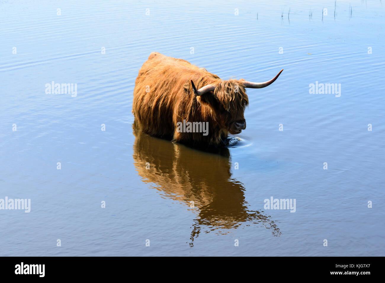 Con i capelli lunghi highland bovini il raffreddamento in zone umide in rspb van agriturismo riserva naturale sul Immagini Stock