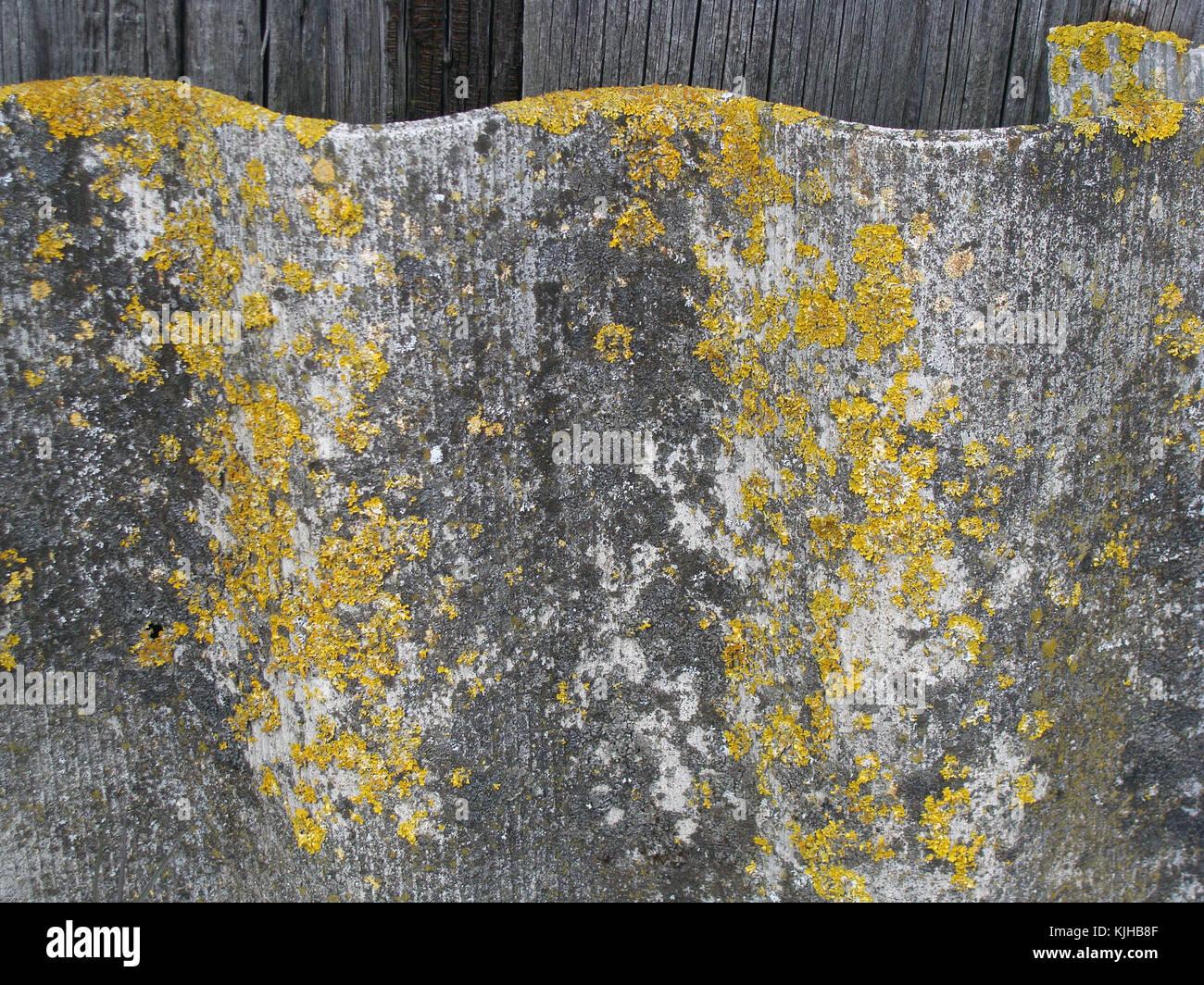 Il giallo il muschio cresce sul vecchio ondulata spiovente del tetto