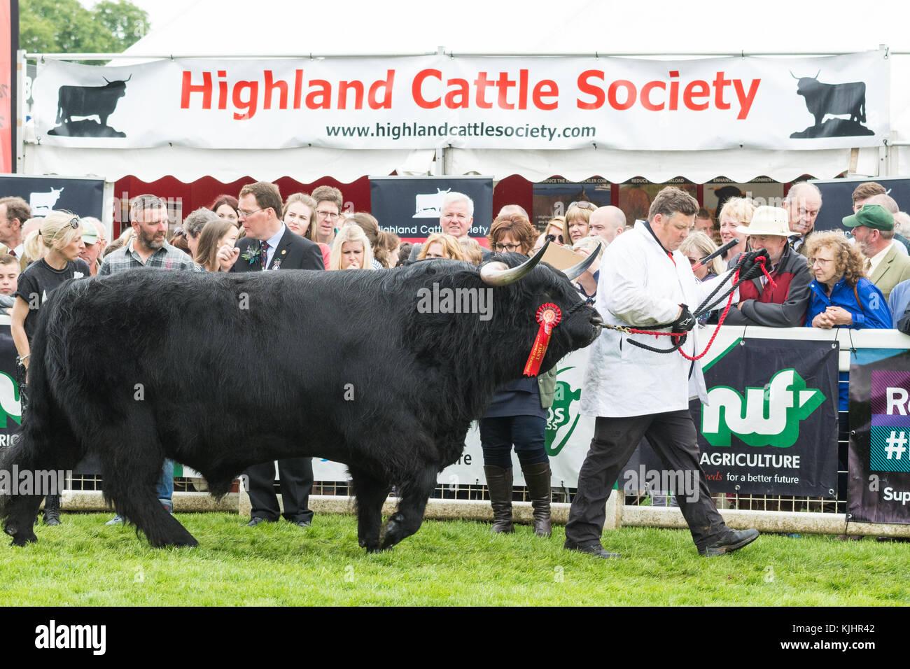 HM Queen's Prionnsa Dubh di Craigowmill, un bambino di sei anni black bull vincendo il campionato maschile e Immagini Stock