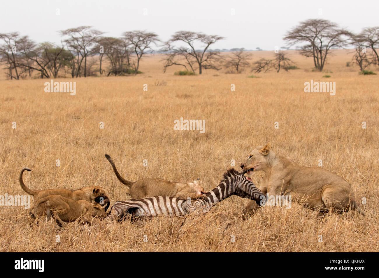 Parco Nazionale del Serengeti. Lion (Panthera leo) alimentazione a uccidere. Tanzania. Foto Stock