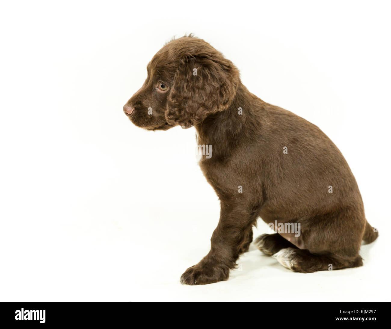 Lavorando cocker spaniel cucciolo su sfondo bianco Immagini Stock