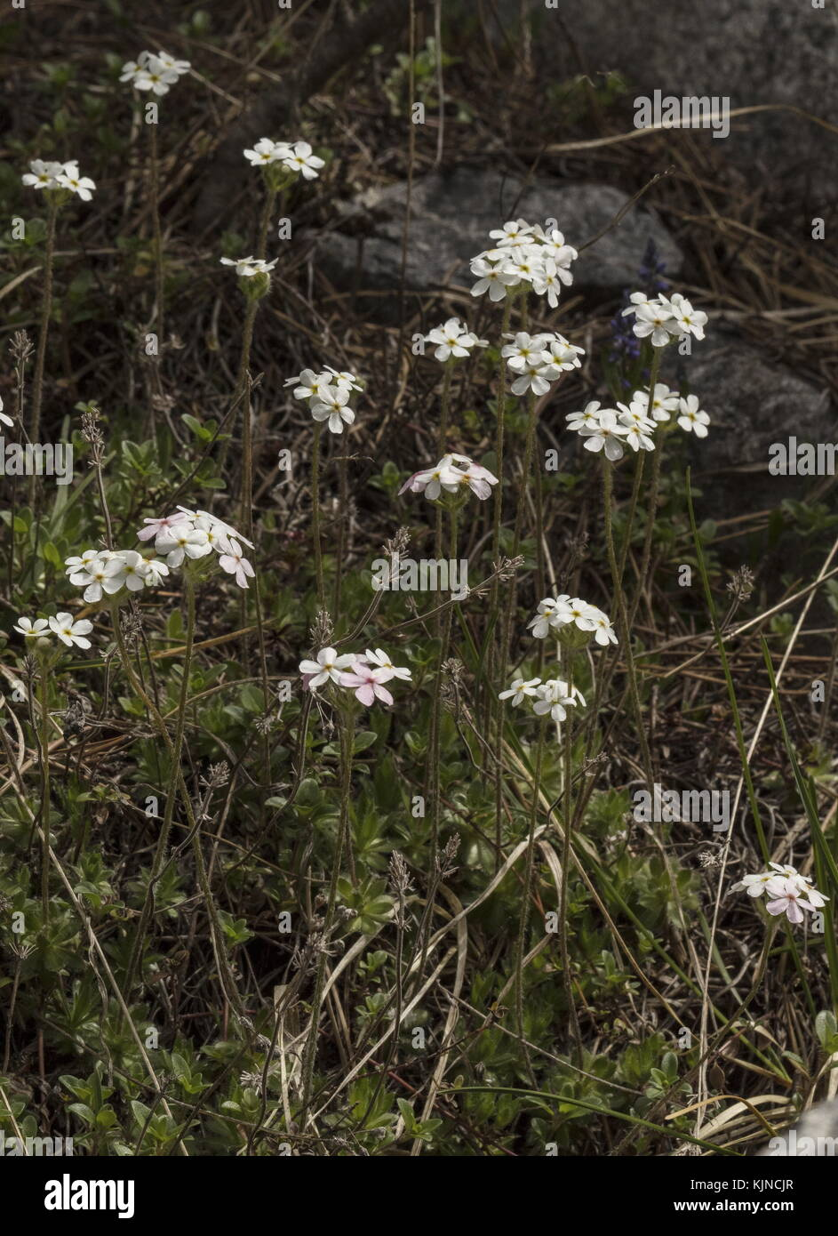 Ciliato rock-gelsomino, androsace chamaejasme, in fiore sul calcare nelle alpi svizzere. Immagini Stock