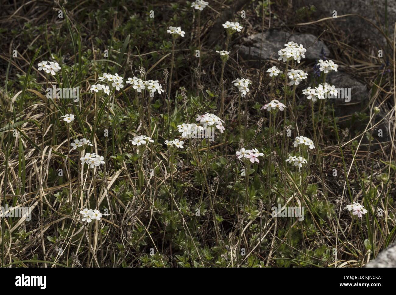 Ciliato rock-gelsomino, androsace chamaejasme, in fiore sul calcare nelle alpi svizzere. Foto Stock