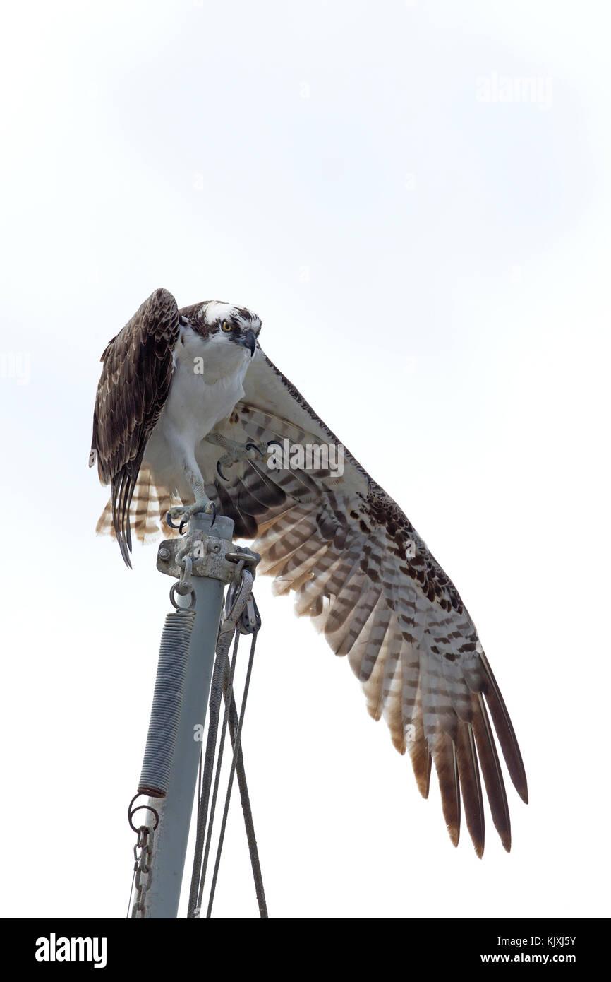 Osprey uno stiramento verso il basso del vento Immagini Stock