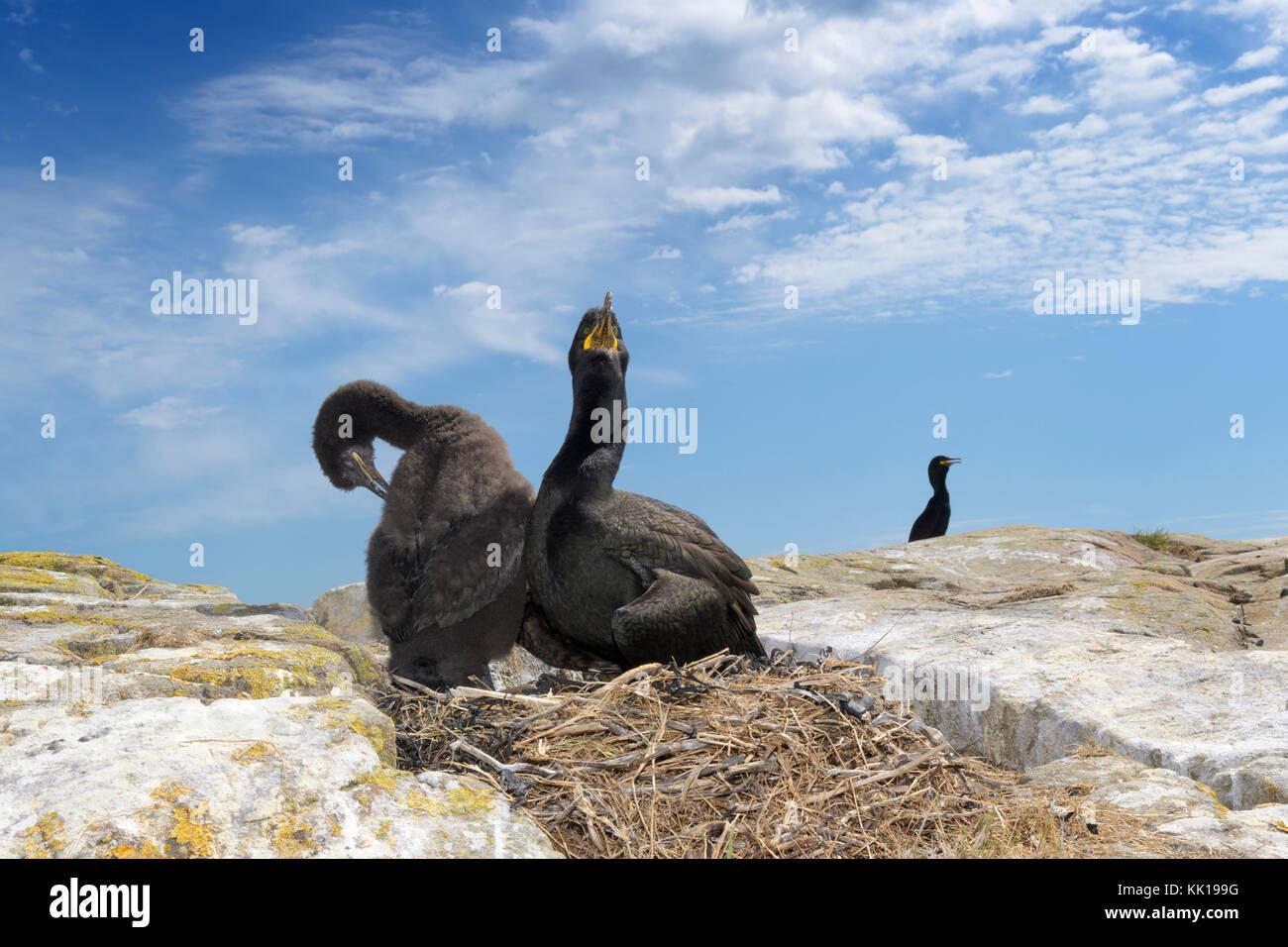 Ampia angolazione del marangone dal ciuffo (phalaccrocorax aristotelis) con pulcino al nido, farne islands, Northumberland, Immagini Stock