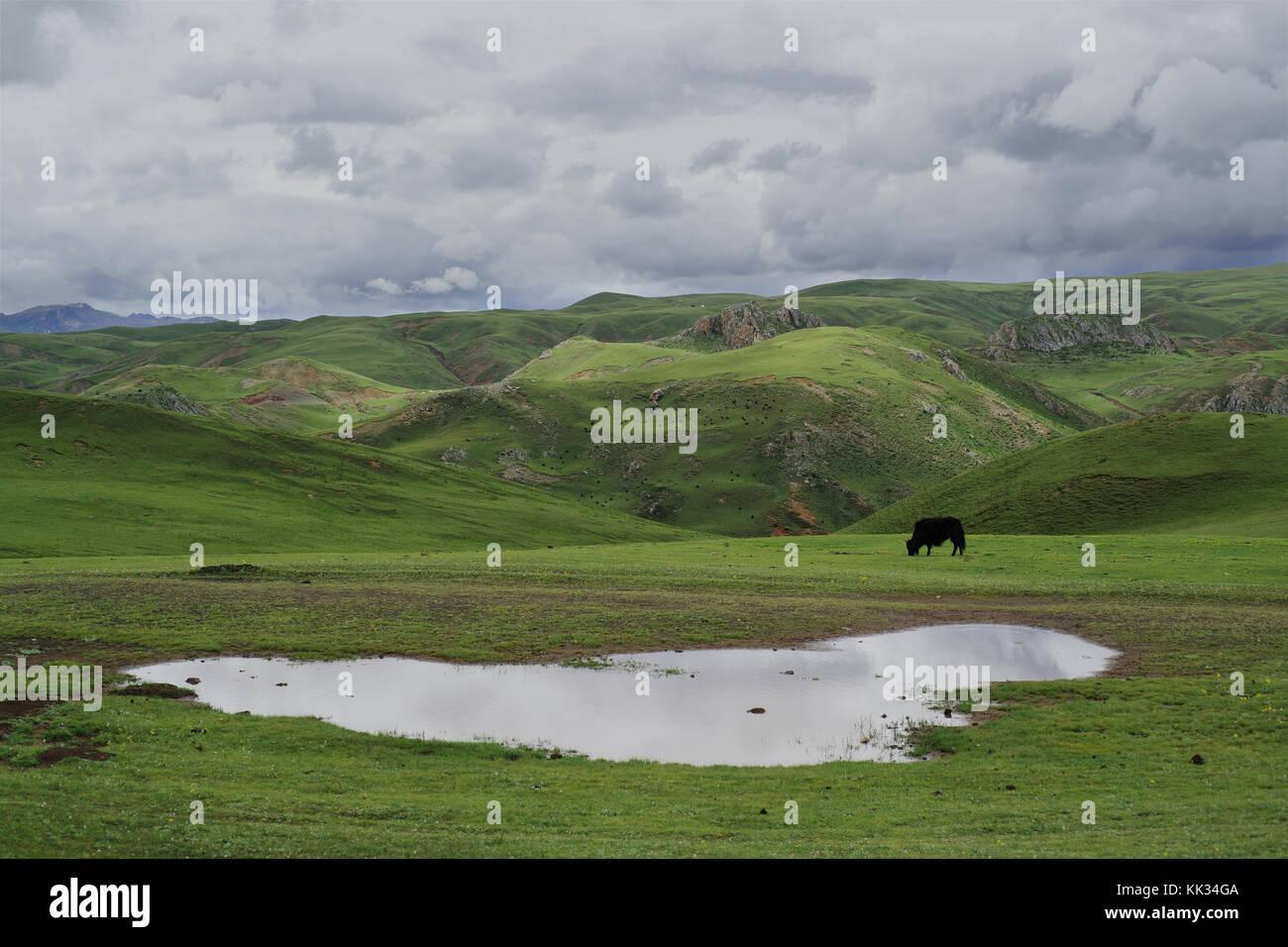 Yak al pascolo litang, kham (tibetano regione), Cina Immagini Stock