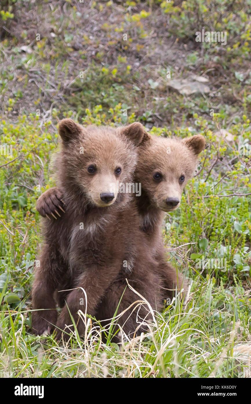 Orso grizzly (Ursus arctos) due cuccioli dell'anno giocando con ogni altro sotto la tutela della madre in thorofare Immagini Stock