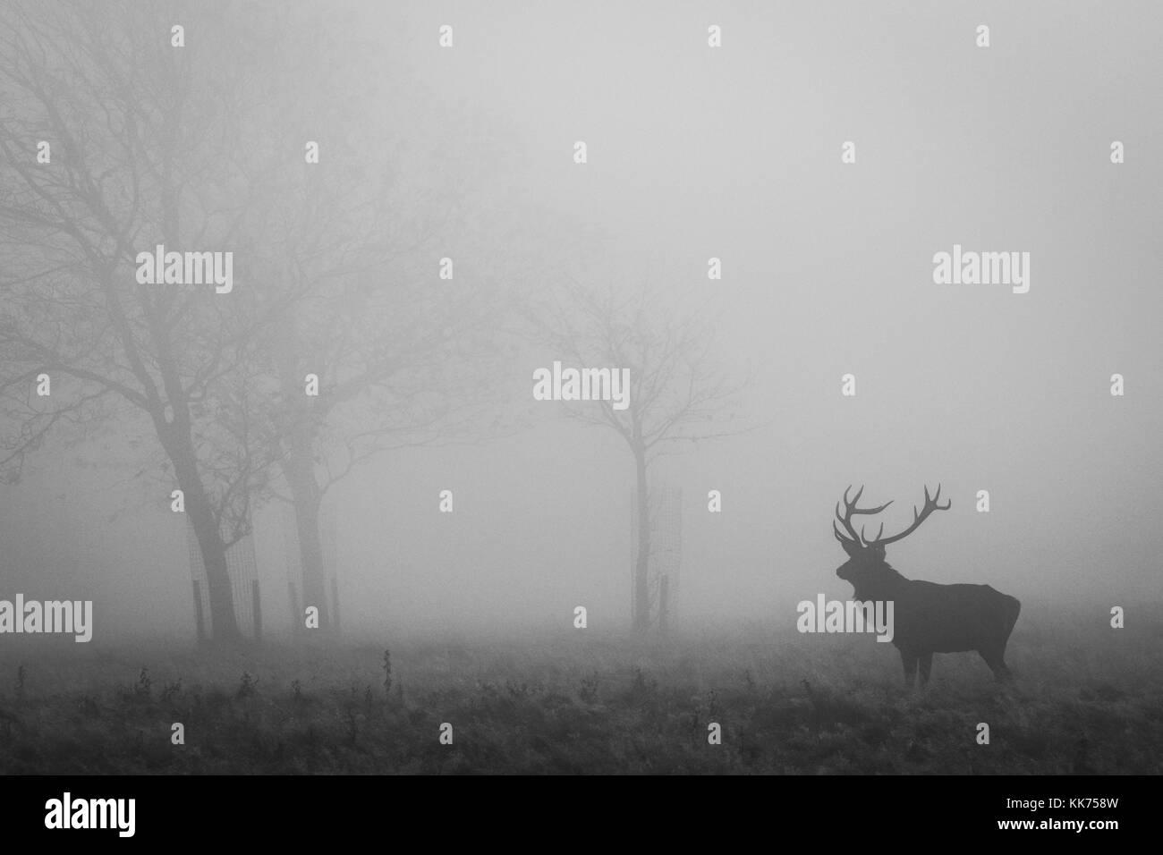 Feste di addio al celibato, maschio rosso cervo, nella nebbia, cheshire, country park, la fauna selvatica Immagini Stock
