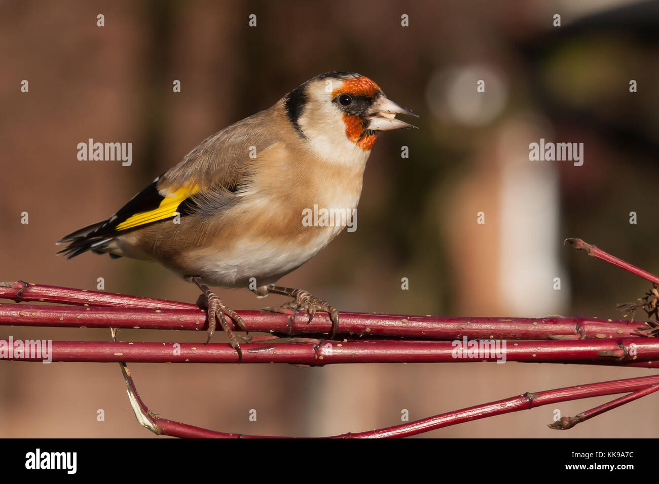 Splendido Uccellino Immagini Splendido Uccellino Fotos Stock Alamy