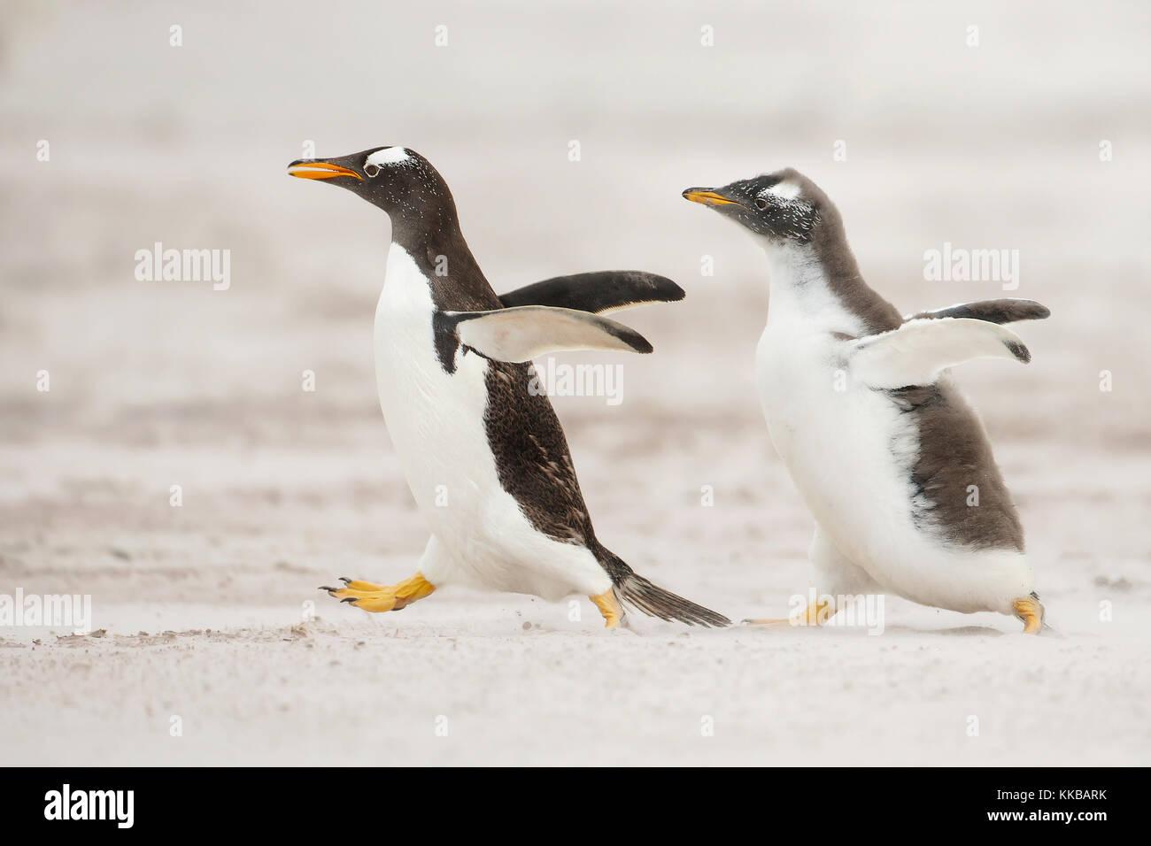 Un giovane pinguino papua in esecuzione dopo il genitore e che chiedono cibo Immagini Stock