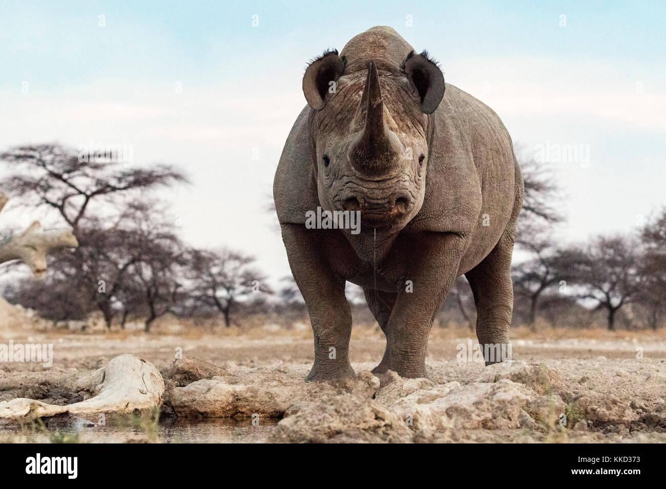 Il rinoceronte nero (diceros simum) - lato orientale del parco nazionale di Etosha, Namibia, Africa Immagini Stock
