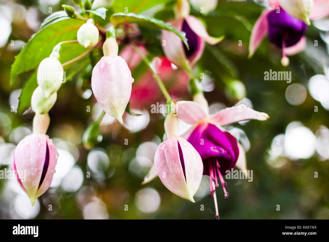 Fiori A Campanelle.Fuchsia La Campanella Immagini Fuchsia La Campanella Fotos Stock