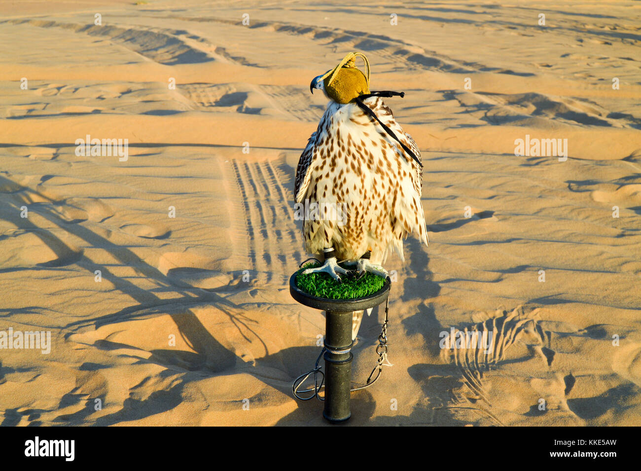 Una bella occhi bendati falcon nel deserto di Dubai. Immagini Stock