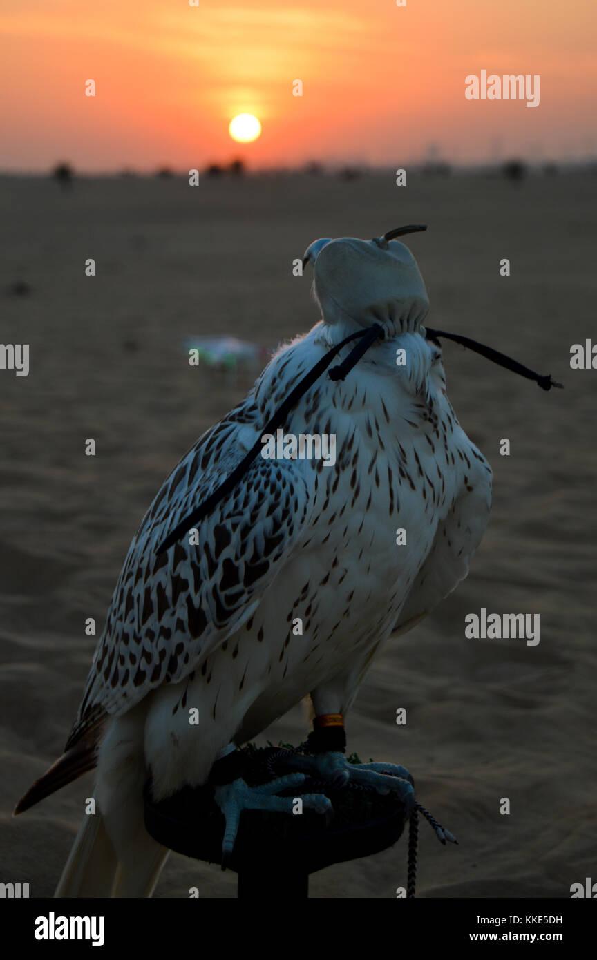 A occhi bendati falcon nel deserto di Dubai al tramonto. Immagini Stock
