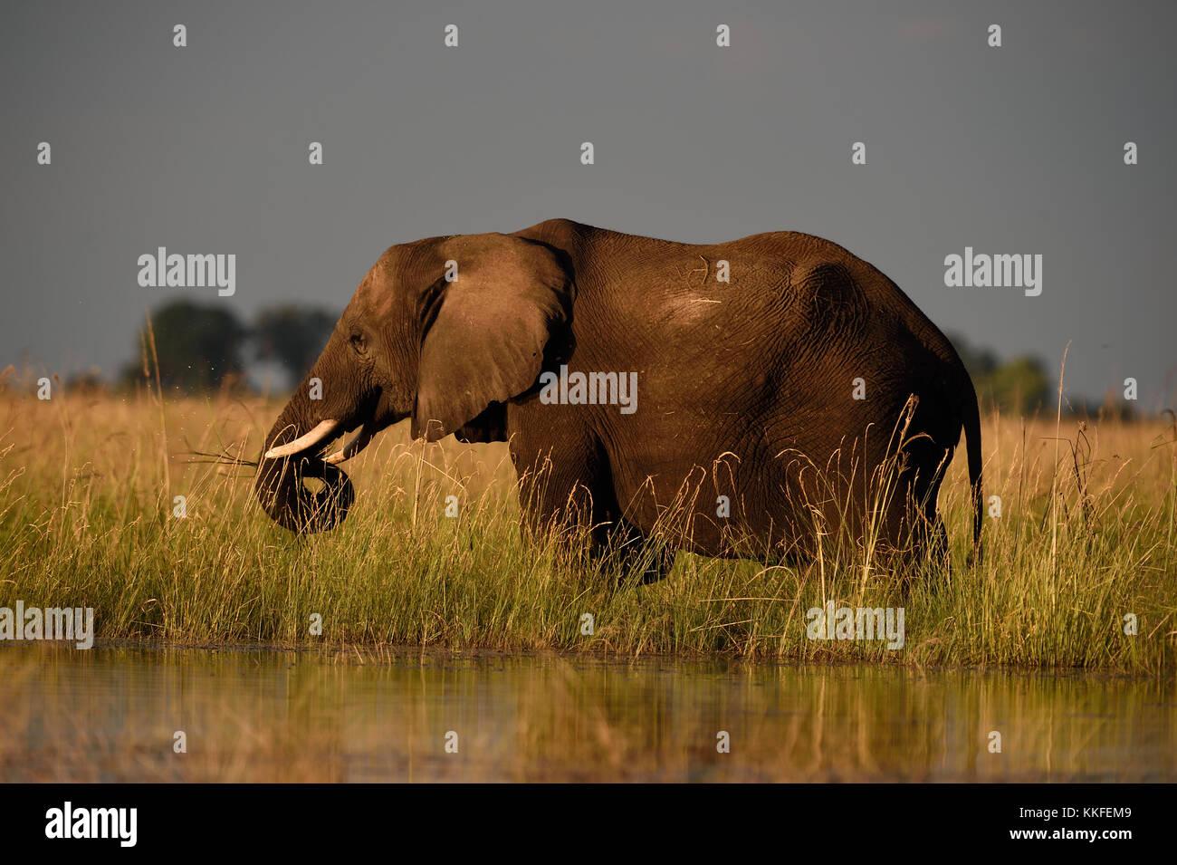 La fauna selvatica sul fiume Chobe, Botswana Immagini Stock