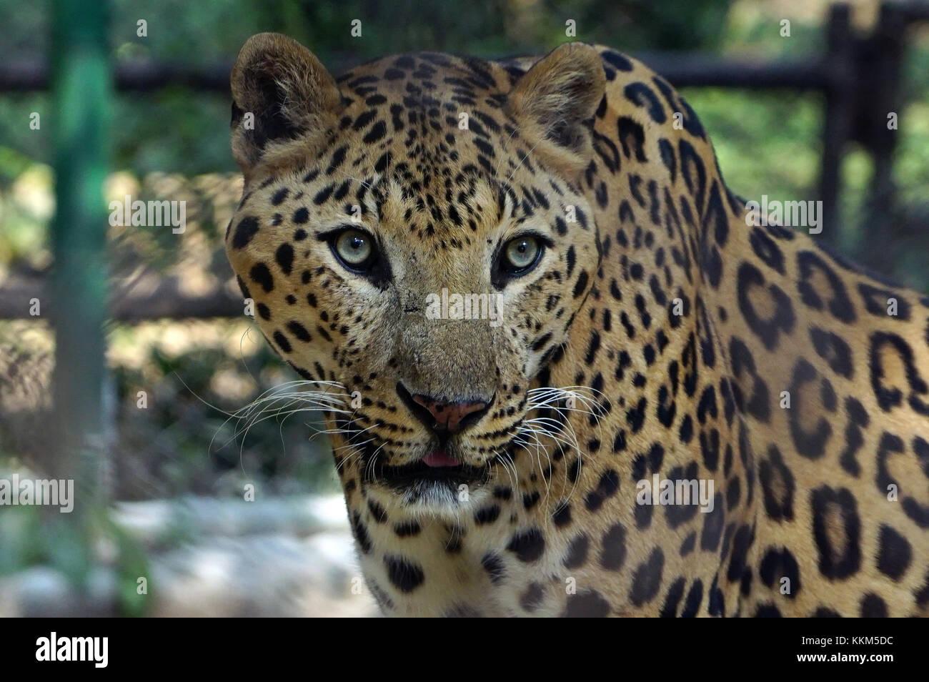 Una Jaguar a fissare la fotocamera mentre era all'interno della gabbia. Immagini Stock