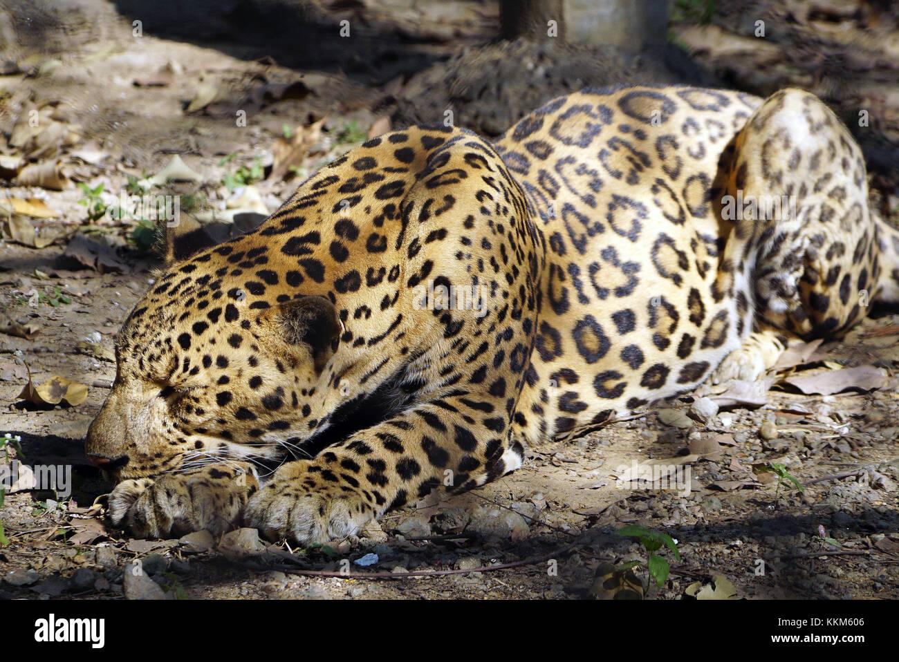 La Jaguar (Panthera onca) in posa di appoggio. Immagini Stock