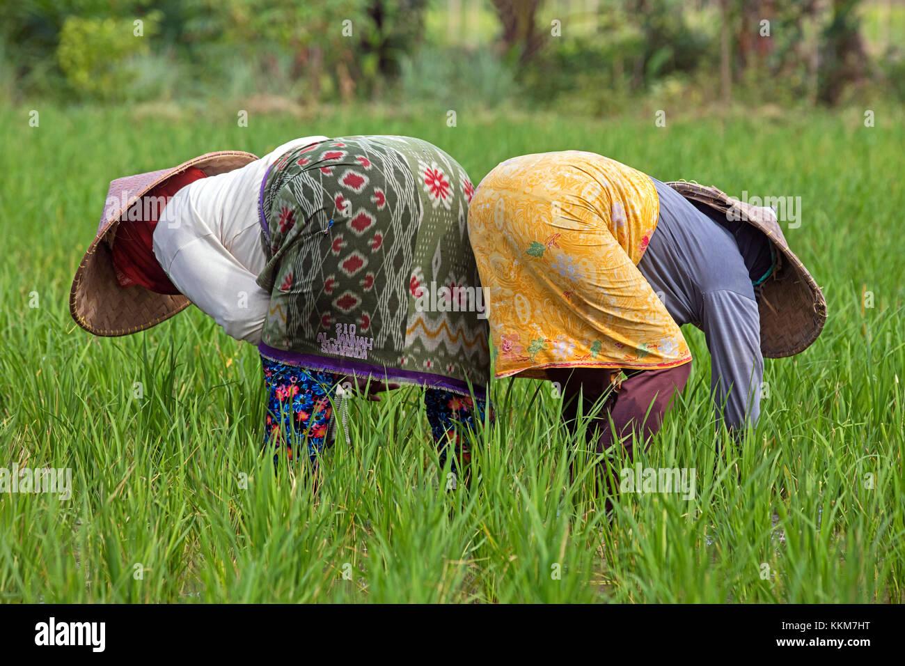 Due indonesiani operaie con i tradizionali cappelli conici / capings lavorando nei campi di riso sull'Isola Immagini Stock