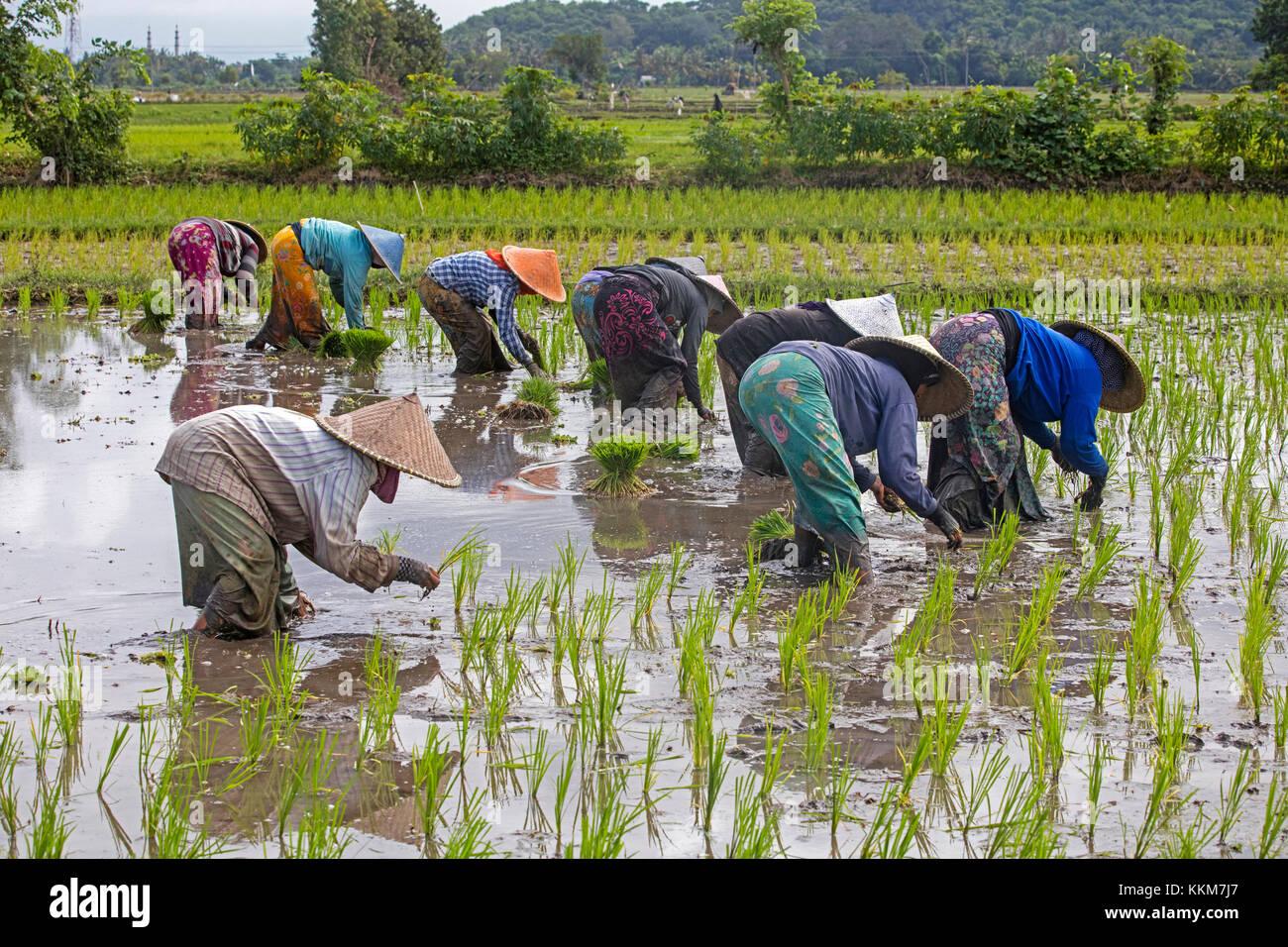 Femmina indonesiano operai con i tradizionali cappelli conici / capings piantagione del riso in risaia sull'Isola Immagini Stock