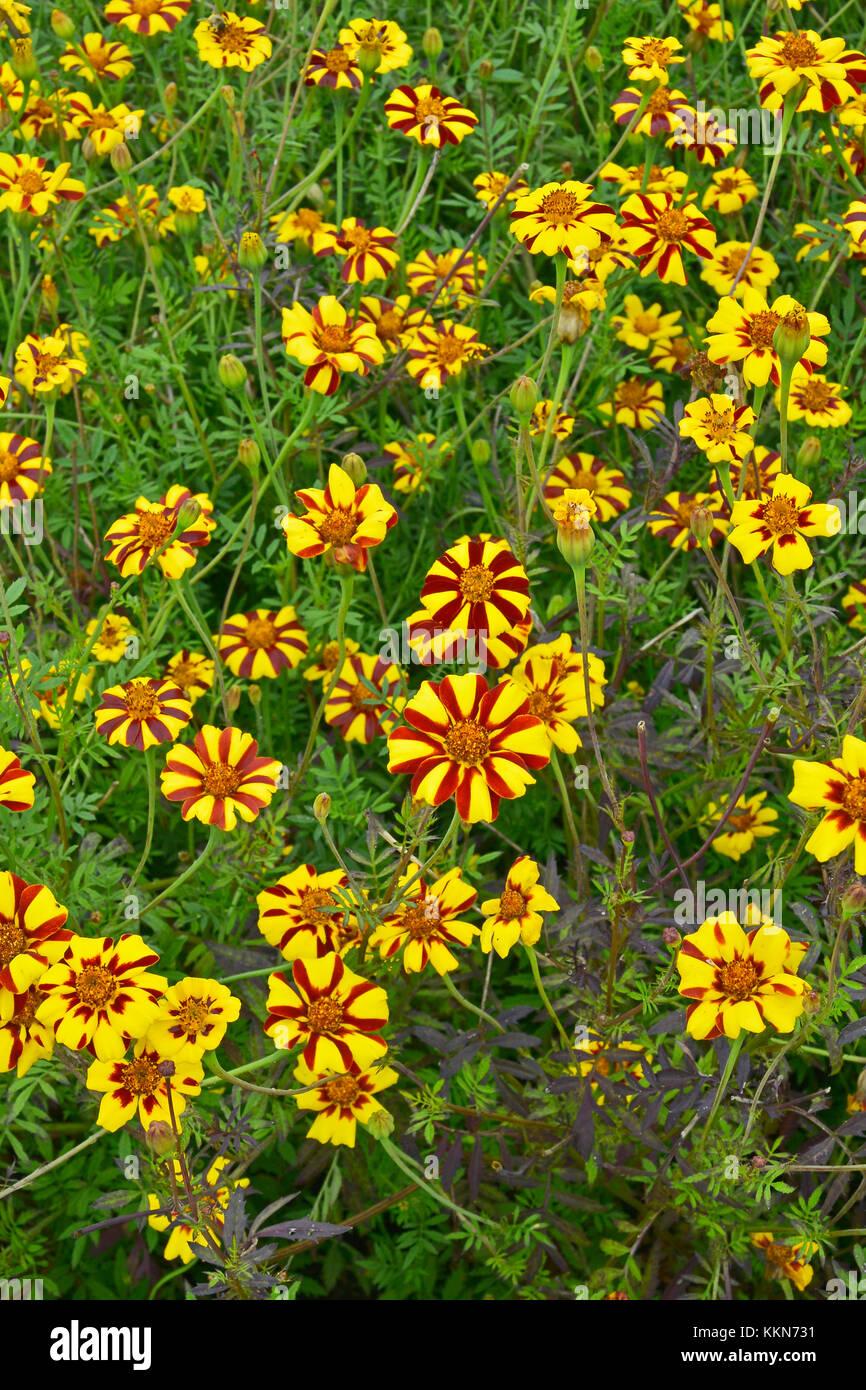 Close up colorata fioritura tagetes patula 'jolly jester' in un paese giardino Immagini Stock