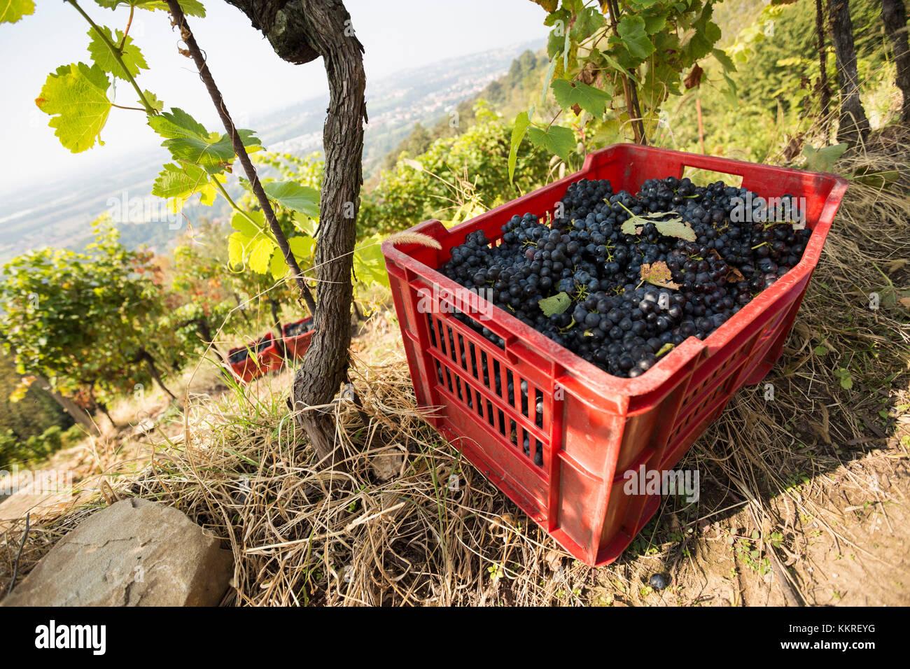 Le uve della vendemmia, montevecchia, provincia di LECCO, LOMBARDIA, nord italia, italia Immagini Stock