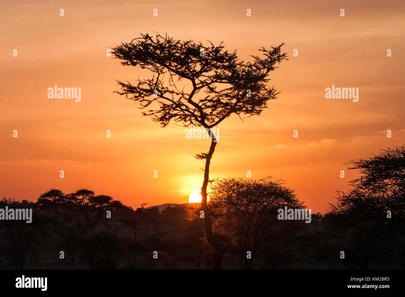 Silhouette di un albero di acacia al tramonto, Serengeti National Park, Tanzania Africa Immagini Stock