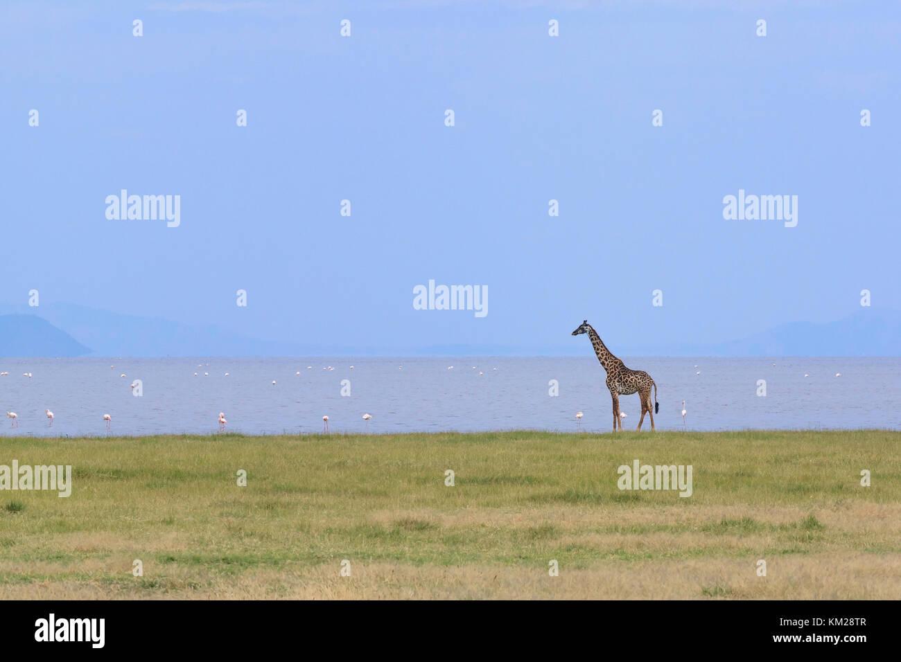La giraffa e fenicotteri sul litorale del Lago Manyara in Tanzania, Africa Immagini Stock