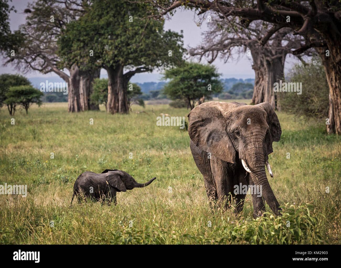 Elefante africano con il bambino nel Serengeti, Tanzania Africa Foto Stock