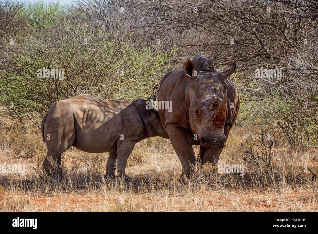 Un rinoceronte bianco madre e vitello nel sud della savana africana Immagini Stock