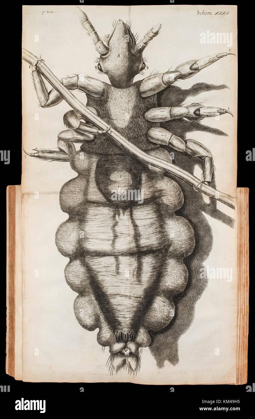 Depliant illustrativo di un pidocchio su una ciocca di capelli da 'Micrographia' da Robert Hooke (1635-1703), Immagini Stock