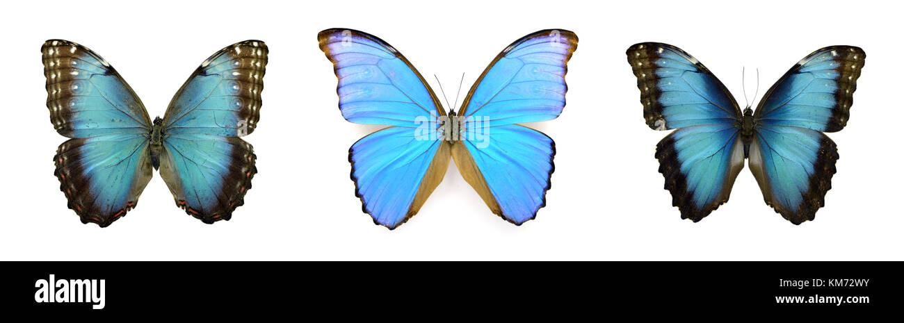 Bellissima esotica blu colorato morfo farfalle isolati su sfondo bianco Immagini Stock