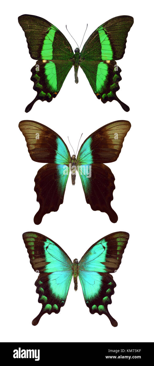 Esotiche farfalle variopinte isolati su sfondo bianco Immagini Stock