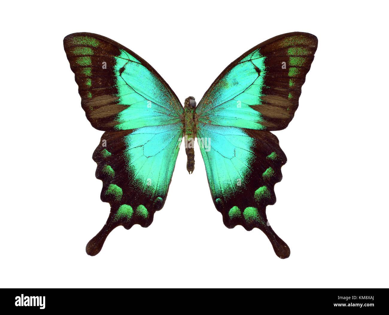 Bella colorata papilio palinurus butterfly isolati su sfondo bianco Immagini Stock