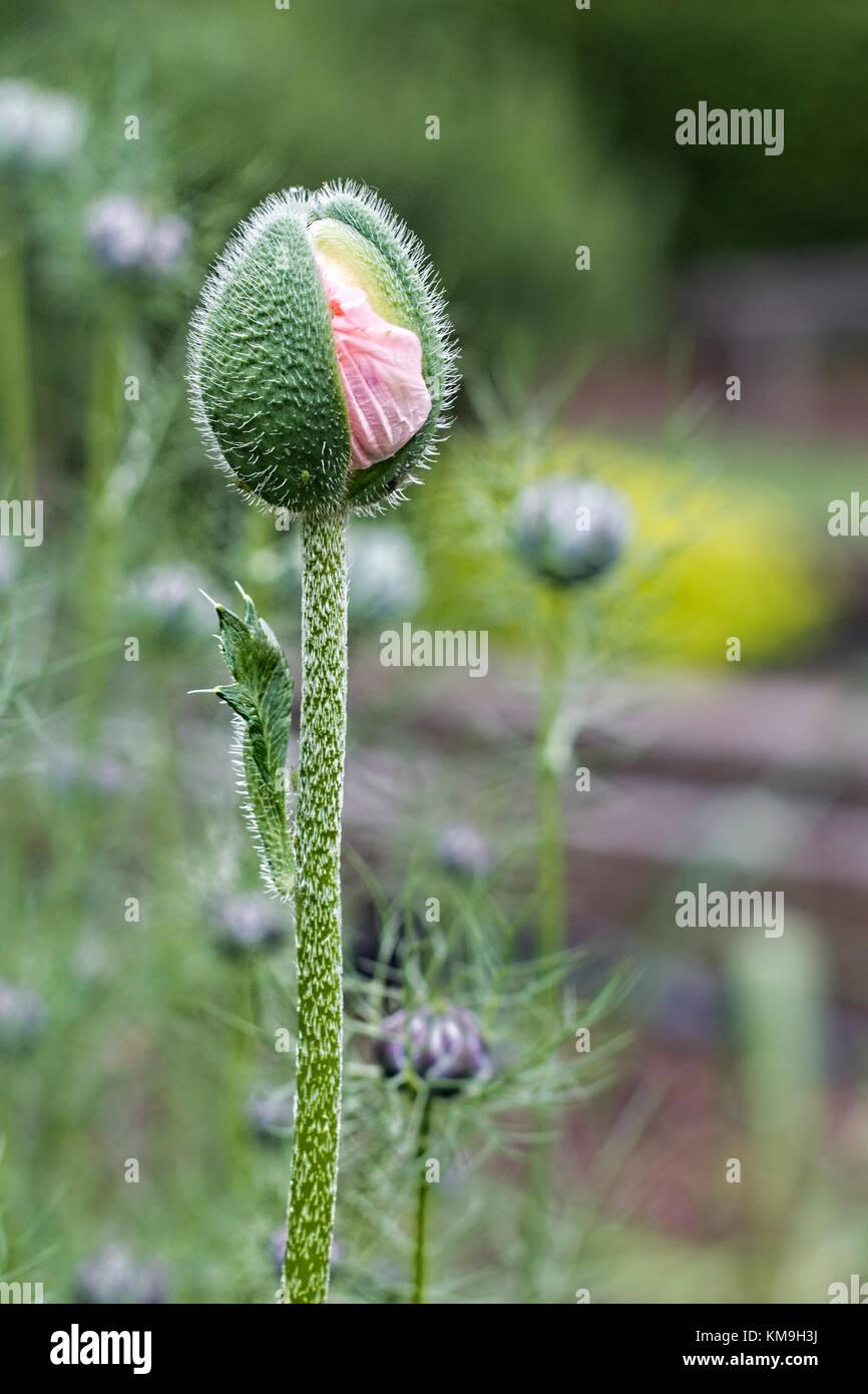 Una sola rosa stelo di papavero che esplode nel fiore contro uno sfondo di altri Immagini Stock