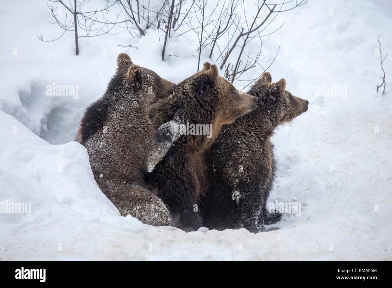 Femmina e due di un anno-vecchio orso bruno lupetti (Ursus arctos arctos) lasciando den nella neve in primavera Foto Stock