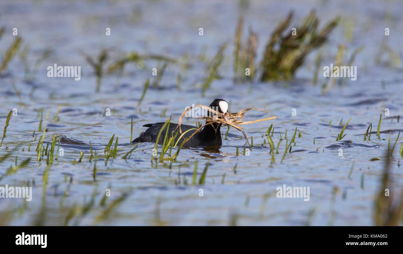 Eurasian folaga (fulica atra) nella zona umida di raccolta materiale di nidificazione come erba lame per la nidificazione Immagini Stock