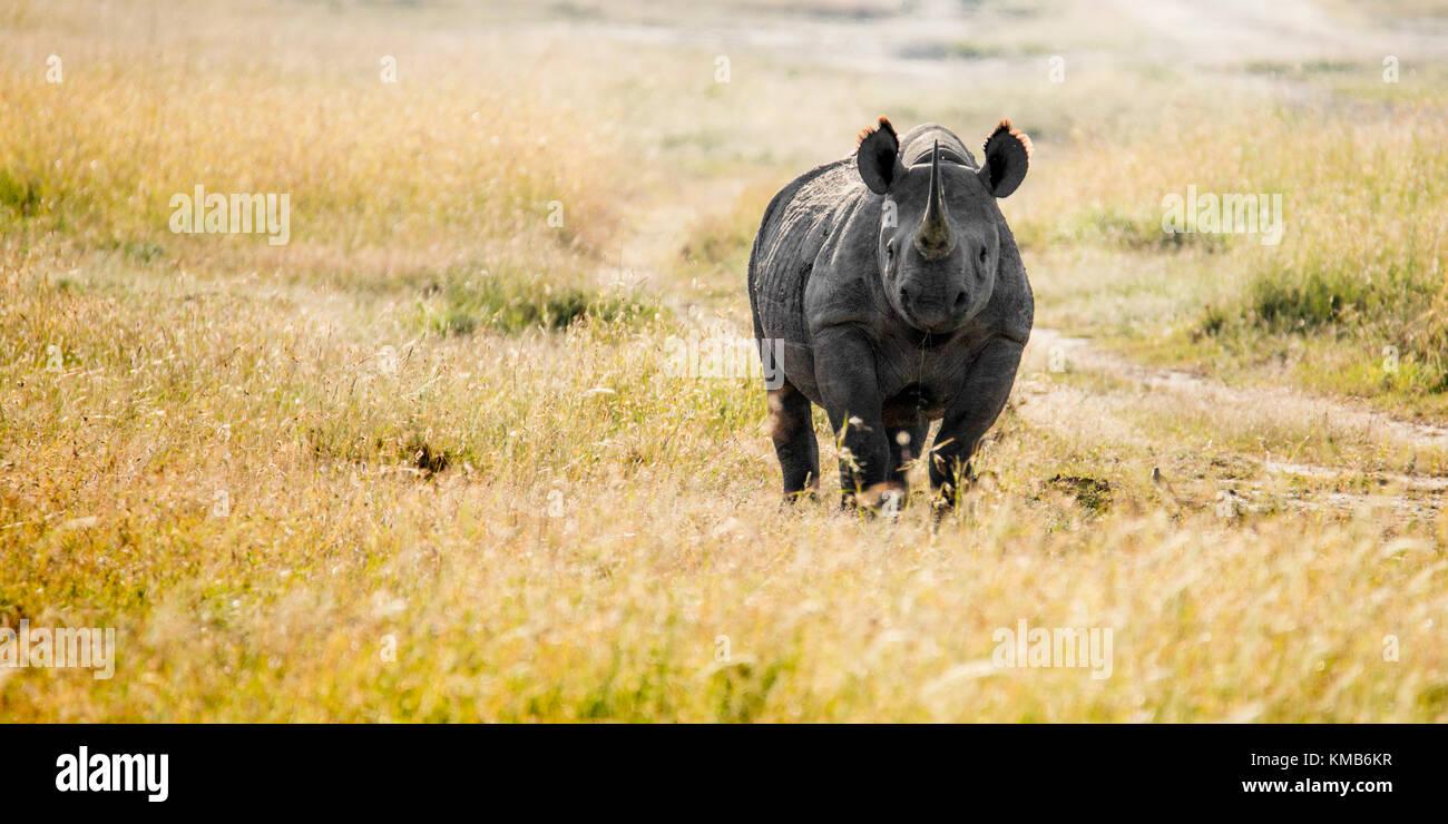 Un singolo il rinoceronte nero in piedi in un terreno erboso aperto, rivolto verso la telecamera, Laikipia, Kenya, Immagini Stock