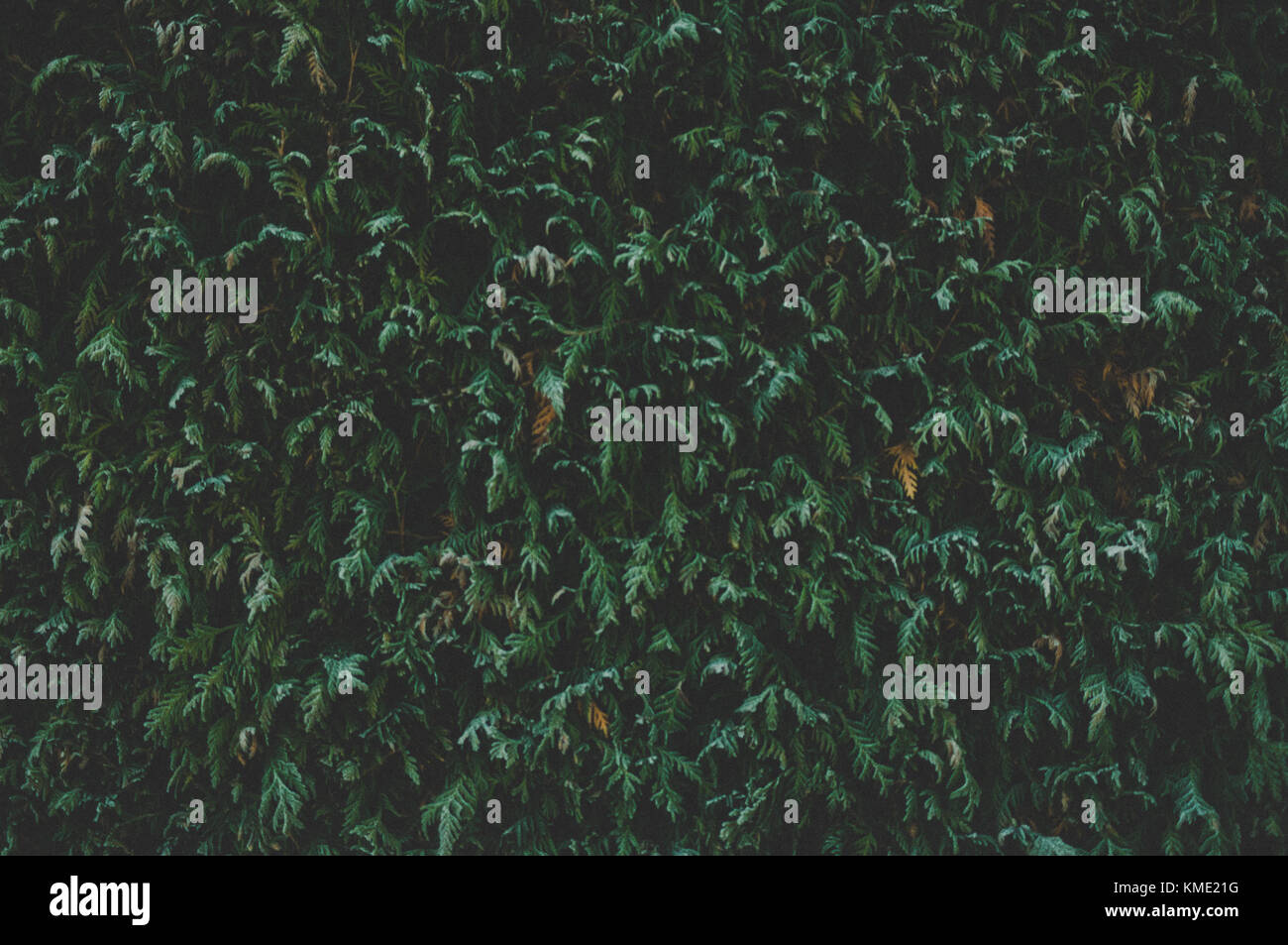 Cupressaceae. Foglie in inverno. Primo piano. Texture di sfondo. Immagini Stock