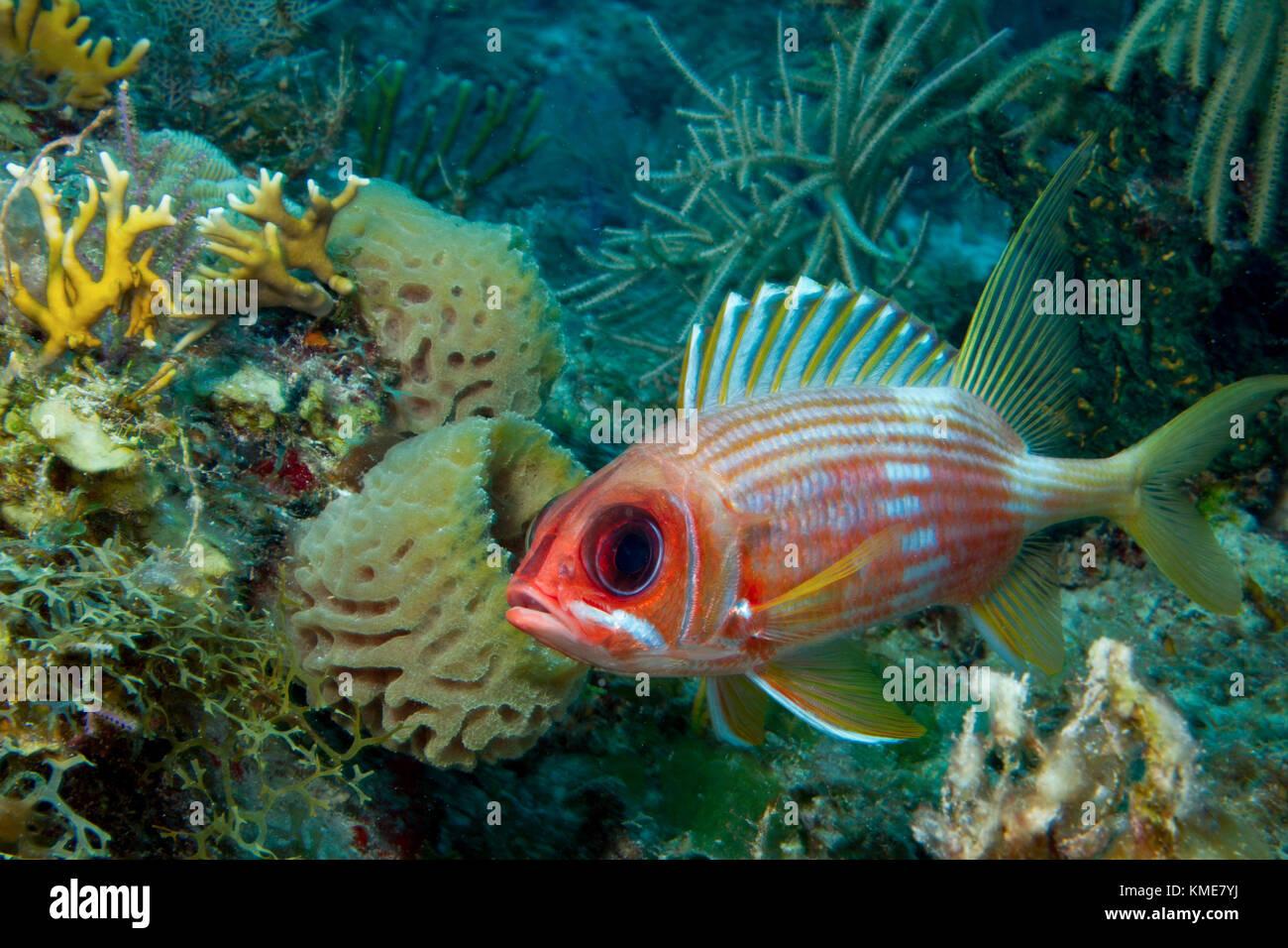 Diffidenti squirrelfish. Foto Stock