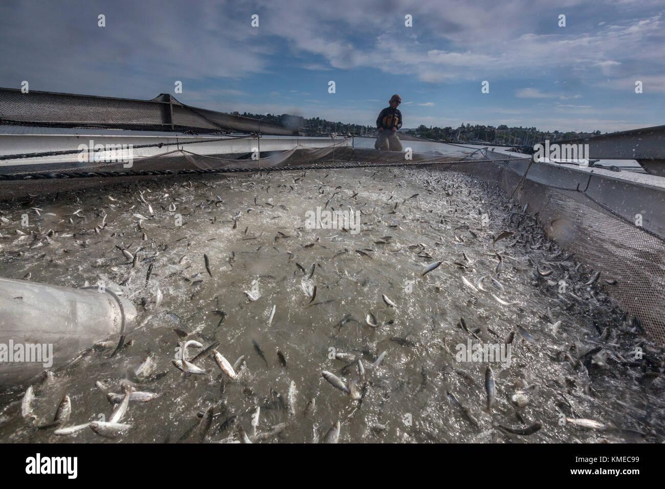 Vivaio di salmone chinook smolts essendo messo in rete sul mare isola,California , Stati Uniti Immagini Stock