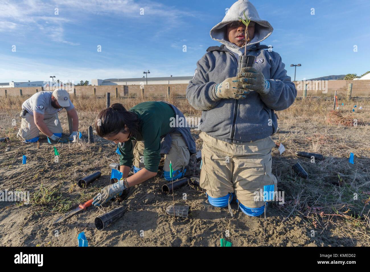 Tre volontari americorps piantagione nativo specie zone umide nel restaurato campo hamilton tidal marsh,novato , Immagini Stock