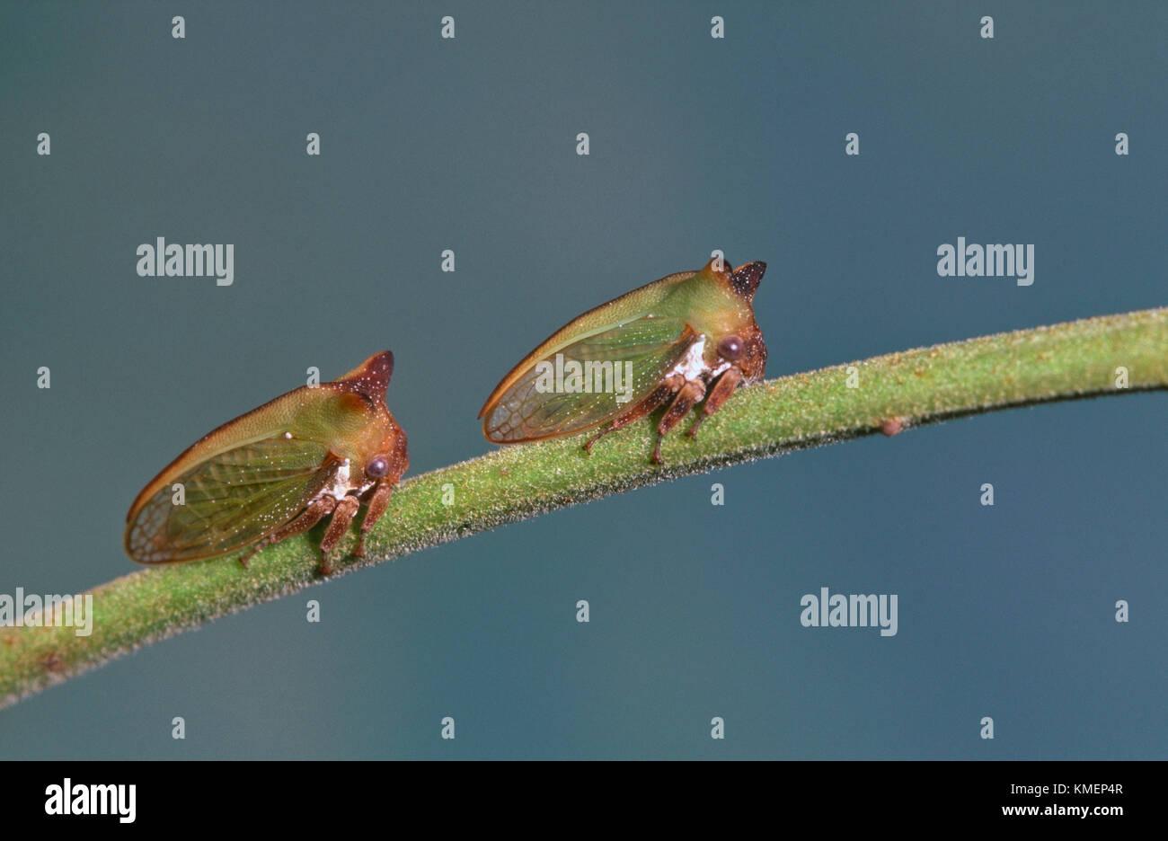 Verde (treehoppers Membracidae) sulla struttura di graticcio (Acacia) Immagini Stock
