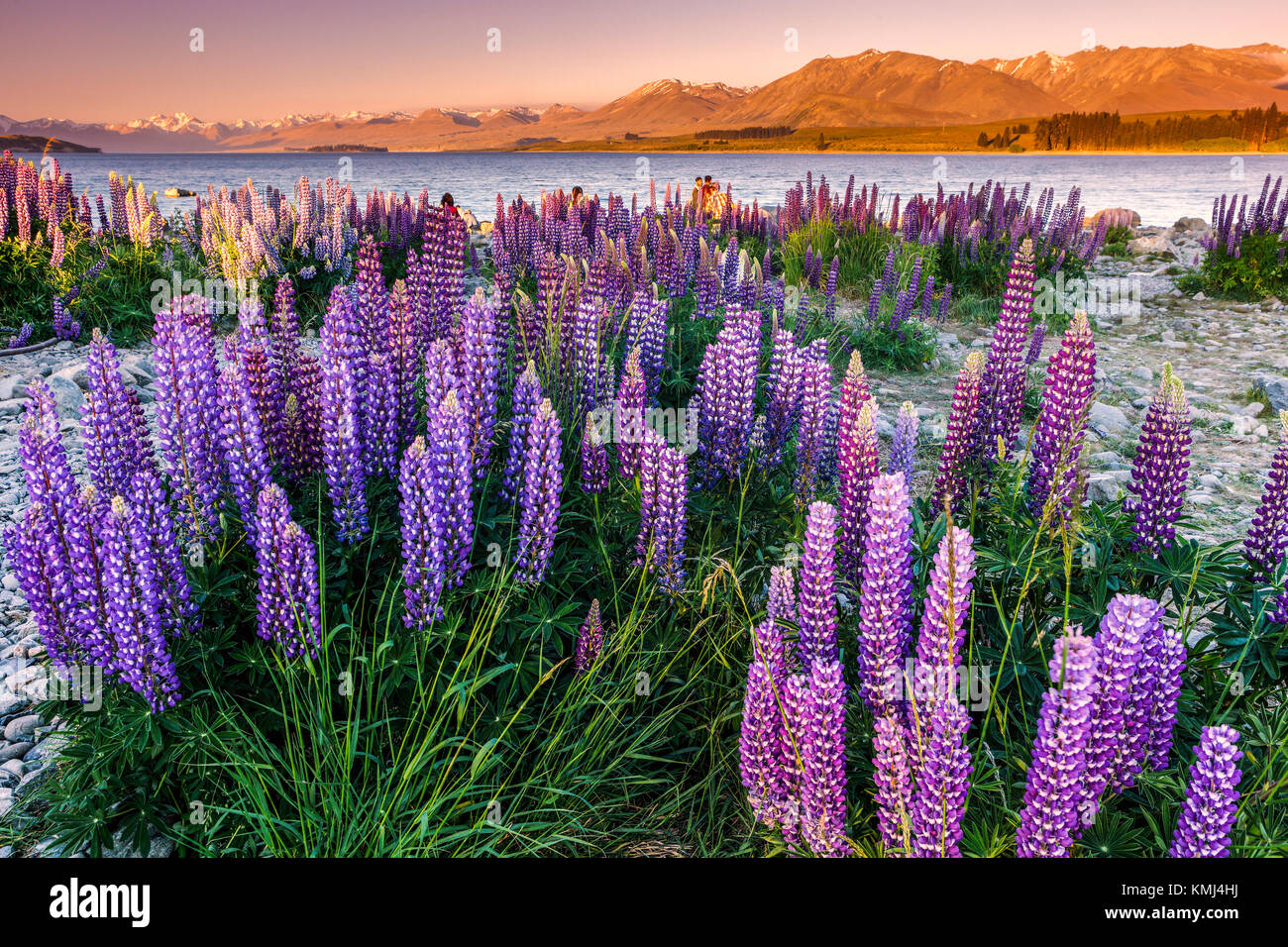 I lupini al Lago Tekapo, Mac Kenzie paese, Nuova Zelanda. Immagini Stock