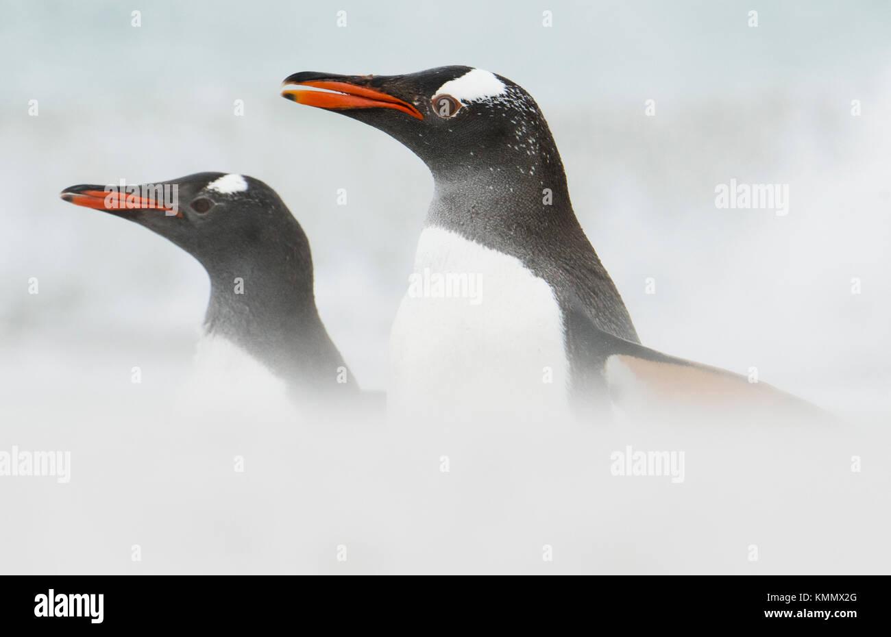 I pinguini di Gentoo (Pygoscelis papua) Isole Falkland Immagini Stock