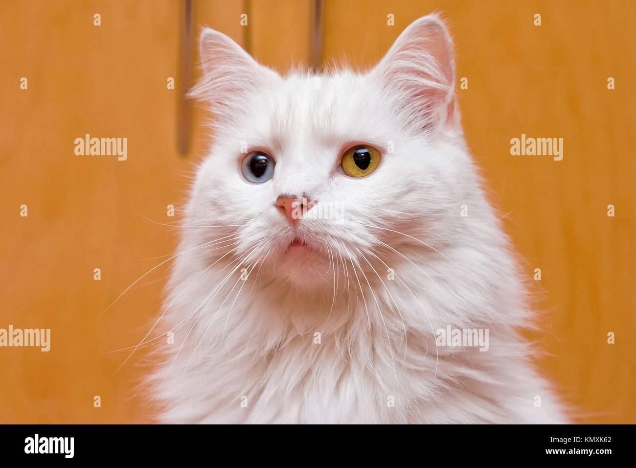 Un Ritratto Di Un Bi Occhio Di Colore Blu E Giallo A Medio Lungo