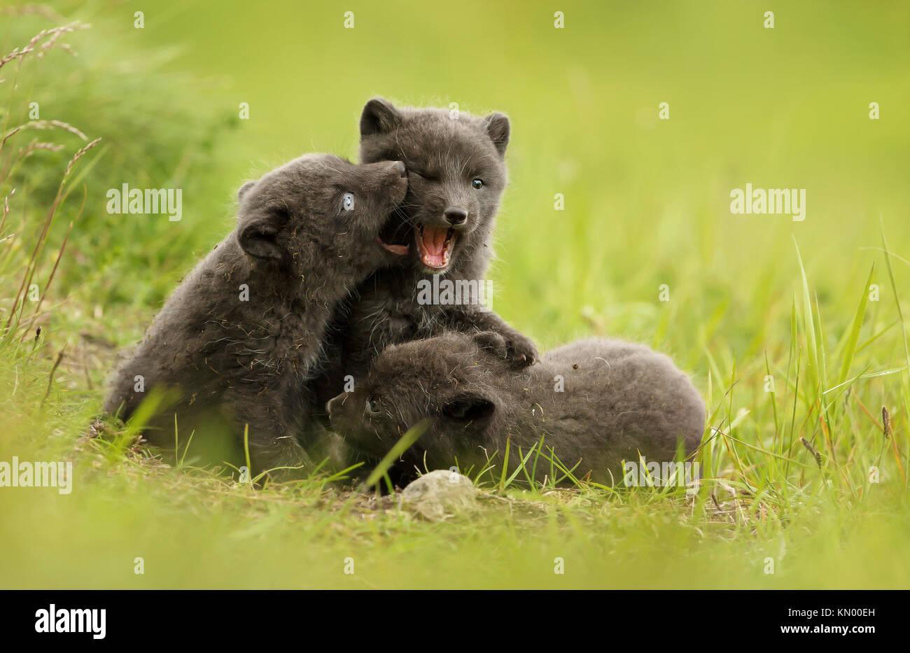 Tre graziosi marrone (blue morph) Arctic Fox cubs giocare a combattere gli uni con gli altri nel prato durante il Immagini Stock